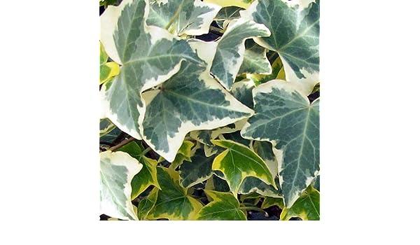 1 planta de hiedra Helix EVA en maceta 17 cm trepadora: Amazon.es ...