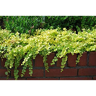 Perennial Farm Marketplace Lysimachia nummularia 'Aurea' (Golden Creeping Jenny) Groundcover, 1 Quart, Gold-Leaved with Yellow Flowers: Garden & Outdoor