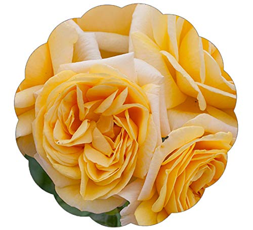 Stargazer Perennials Moonlight Romantica Rose Plant - Reblooming Fragrant Yellow Flowers Own ()