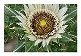 Berkheya cirsiifolia - Berkheya - 10 Seeds