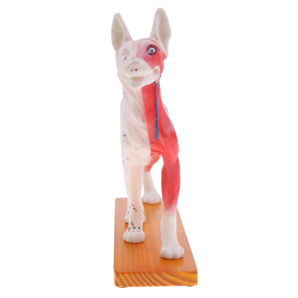 Homyl Homyl Homyl Modelo de Acupuntura de Perro Equipo de Estudio Médico Anatómico de Acupuntura de Escuela d44c3a