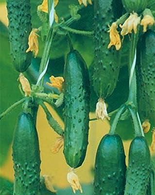 Seeds Cucumber Nastoyashchiy Polkovnik F1 Organic Russian Hybrid Variety