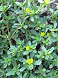 David's Garden Seeds Leafy Greens Purslane Red Gruner (Green) 500 Open Pollinated Seeds