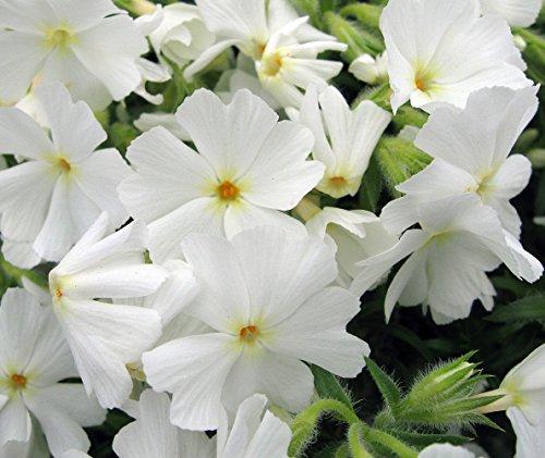 Early Spring White Creeping Phlox Perennial - Quart Pot (Creeping Phlox)