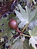 (3 gallon) FIG Chicago Hardy-fig Tree for Sub Freezing Temperatures,high-yielding fig tree that is easy to grow