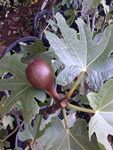 (1 gallon) Fig Plant, LSU PURPLE, -Gallon Size, will bear fruit twice in a year, considered best for fresh eating, all-round fig tree by Pixies Gardens