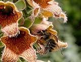 50+ FOXGLOVE (DIGITALIS FERRUGINEA) FLOWER SEEDS/ PERENNIAL DEER RESISTANT