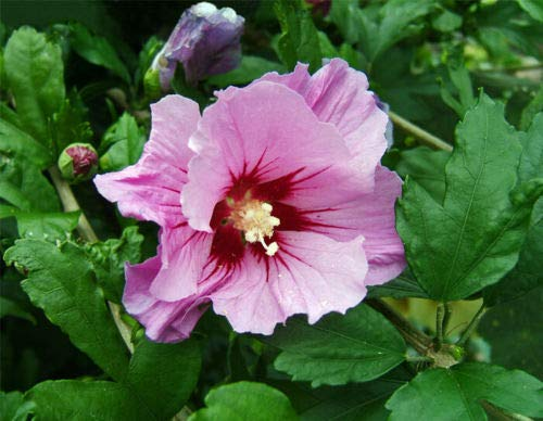Details About Aphrodite Rose of Sharon - Hibiscus - Zones 5-8 - 4 inch Live Plant - Bare Root