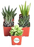 """Shop Succulents   Alluring Collection of Live, Hand Selected Variety Pack of Mini 5 Different Aloe Plants in 2"""" Grower Pots, Easy to Grow and Hard to Kill, Gardener"""