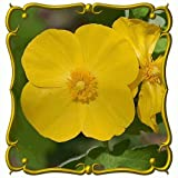 Everwilde Farms - 30 Celandine Poppy Native Wildflower Seeds - Gold Vault Jumbo Seed Packet