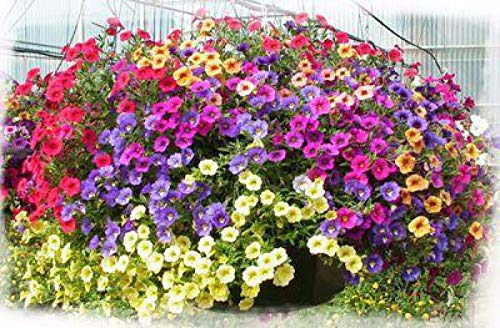 3000 Seeds Trailing Petunia - Mix ()