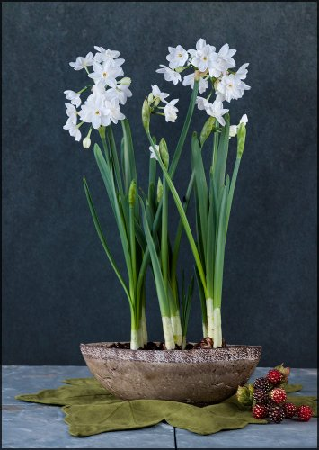 Paperwhites in a Enchanted Jade Boat - Pre-Planted!