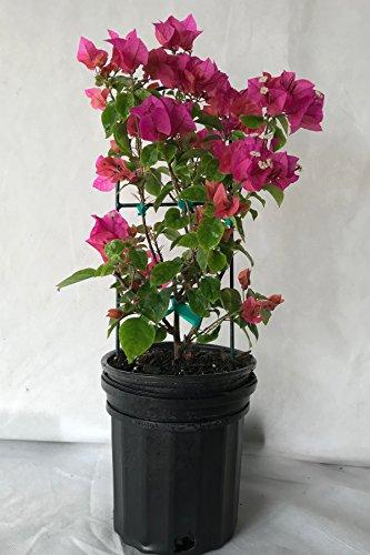 Assorted Bougainvillea Plant (flowers, hanging basket, bush, trellis, patio tree, vine) (5 Gal Trellis) by Root 98 Warehouse (Image #1)