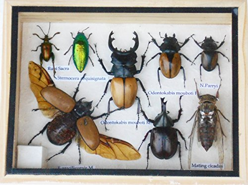 real-mixed-beetle-cicada-insect-boxed-framed-taxidermy-display-wood-box-for-collectibles