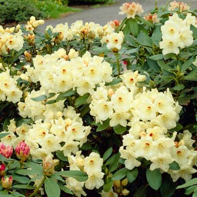 Yellow Rhododendron Shrubs - Huge Yellow Blooms The First Year! - 3 Gallon by Brighter Blooms (Image #2)