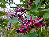 10 Seeds Clerodendrum trichotomum Harlequin Glorybower Tree