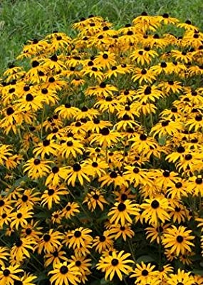 Orange Coneflower (Rudbeckia fulgida), 380 Certified Pure Live Seed, True Native Seed