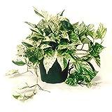 """AMERICAN PLANT EXCHANGE Marble Queen Pothos Indoor/Outdoor Air Purifier Live Plant, 6"""" Pot,"""