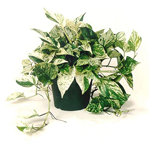 AMERICAN PLANT EXCHANGE Marble Queen Pothos Indoor/Outdoor Air Purifier Live Plant, 6