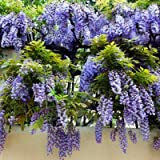 Amethyst Falls Blue Wisteria - Fast Growing Wisteria Vines in Containers - Ready to Give Vibrant Blooms - 3 Gallon