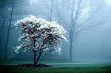Amazoncom White Magnolia Tree Nature Poster Canvas Art Print