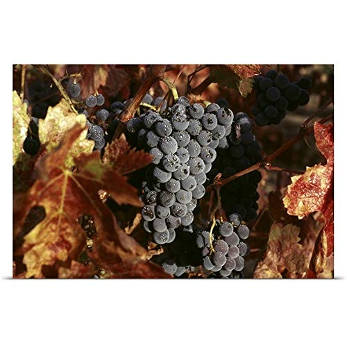 Great Big Canvas Poster Print Entitled Zinfandel Wine Grapes Ready for Harvest in Napa Valley 48
