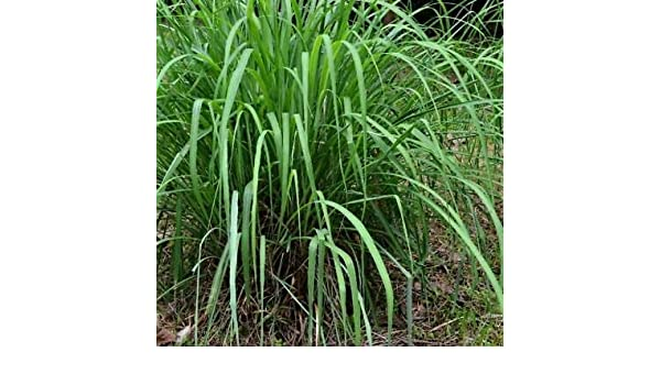 Amazon Com Cymbopogon Winterianus Citronella Grass 100 Seeds By