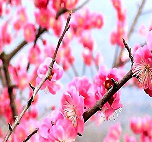 4 Packs x 5 Prunus Triloba - Japanese Flowering Apricot Plum - Tree Seeds - GREAT For Chinese New Year - COLD HARDY To Zone 2 - By MySeeds.Co ()