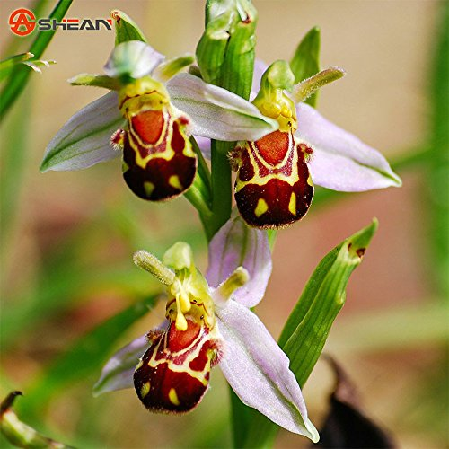 New Arrival Bee Orchid Seeds Perennial Flowering Plants Potted Seeds Interesting Plants 50 Particles Lot