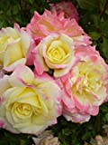 Easy Elegance Rose Music Box > Rosa 'BAIbox' >Landscape Ready 2 gallon Container