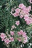 Podranea ricasoliana Pink Trumpet Vine 1 Plant!