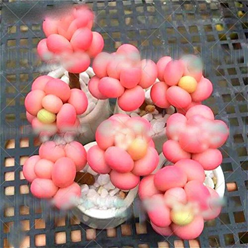 Sale 100 Pcs/Pack Egg Succulents Seeds Echinopsis Tubiflora Cactus Seed Rare Flower Lithops Pots Planters Home Garden Plants