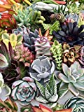 10 Assorted Live Succulent Cuttings, No 2