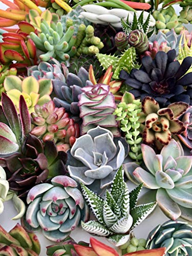 10 Assorted Live Succulent Cuttings, No 2 Succulents Alike, Great for Terrariums, Mini Gardens, and as Starter Plants by The Succulent Cult by The Succulent Cult (Image #6)