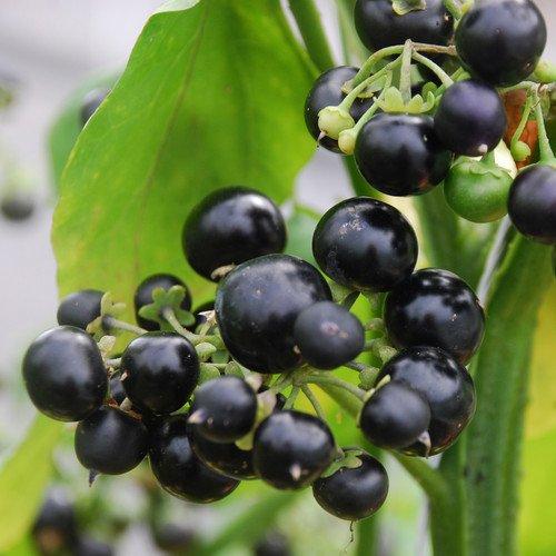 Huckleberry Seeds