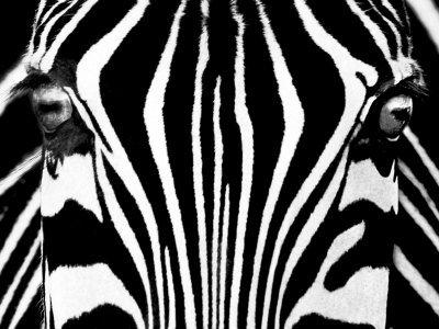Black   White I  Zebra  Art Poster Print By Rocco Sette  32X24