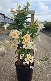 Mandevilla 'Sun Parasol Apricot', Dipladenia - 1 Gallon Live Plant - 4 pack