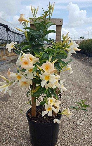 Mandevilla 'Sun Parasol Apricot', Dipladenia - 1 Gallon Live Plant - 4 pack by PlantVine