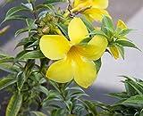 Yellow Allamanda Giclee Canvas Print by Karina Brown