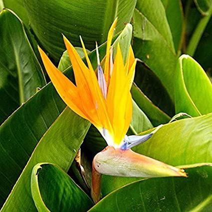 WuWxiuzhzhuo Big Promotion 10Pcs Rare Strelitzia Reginae Graines de Fleurs d'oiseaux de Paradis Tropical Plante Décorative