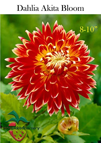 (3 Dinner-Plate Dahlia Akita Tuber Bulb Clump Perfect Mothers Day Gift, Giant Flower Blooms!)