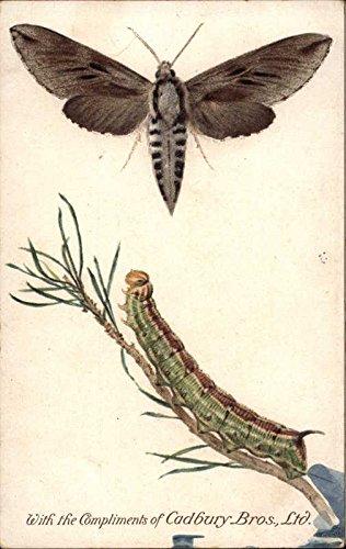 Pine Hawk Moth and Caterpillar Other Animals Original Vintage Postcard