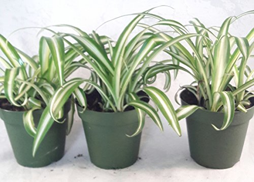 Ocean Pot - Ocean Spider Plant - 4'' Pot 3 Pack for Better Growth - Cleans the Air/Easy to Grow by Jmbamboo