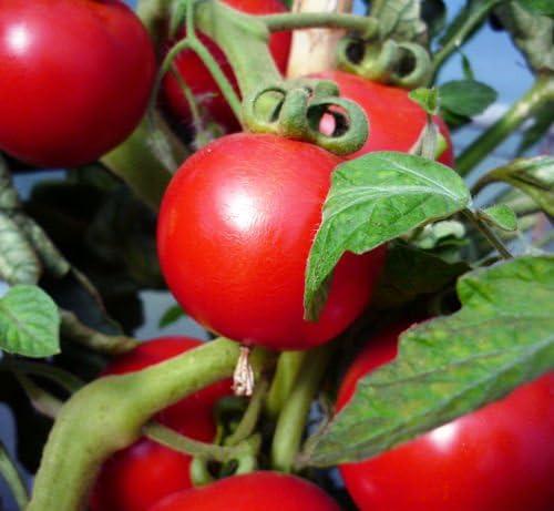 Gourmet 6 x Saint Pierre Tomato Plug Plants Red Salad Tomato Seedlings