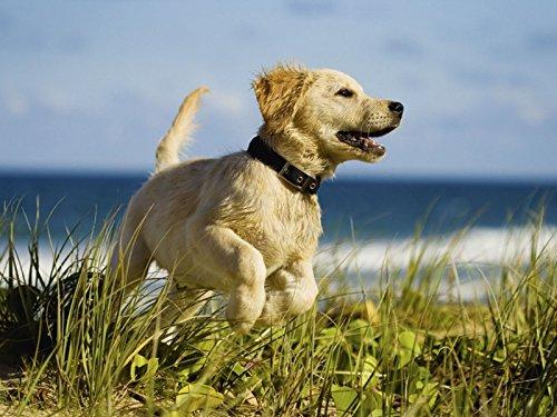 Artland Qualitätsbilder I Bild auf Leinwand Leinwandbilder Martin Valigursky Hundebaby springt am Strand Tiere Haustiere Hund Fotografie Creme A6MR