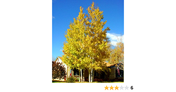 Zones 1-6, Fast Growing, 500 Quaking Aspen Tree Seeds Populus tremuloides