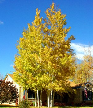 - 50 Quaking Aspen Tree Seeds, Populus Tremuloides