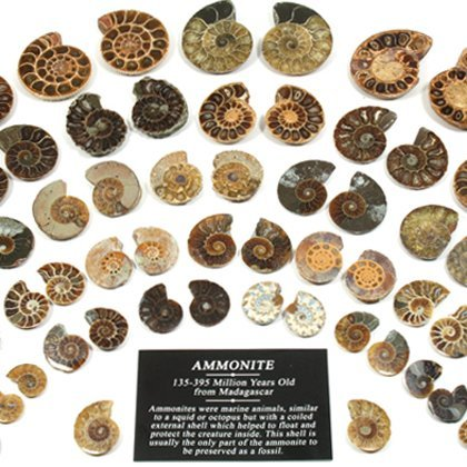 CrystalAge Mini Ammonite Pairs - 20-25 mm