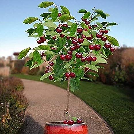 SEEDS 20  MAZZARD CHERRY TREE FLOWERING FRUIT TREES