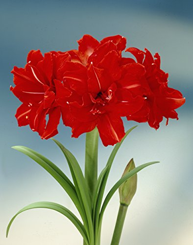 Bloomsz Amaryllis Red Peacock 26/28cm (1-Pack)